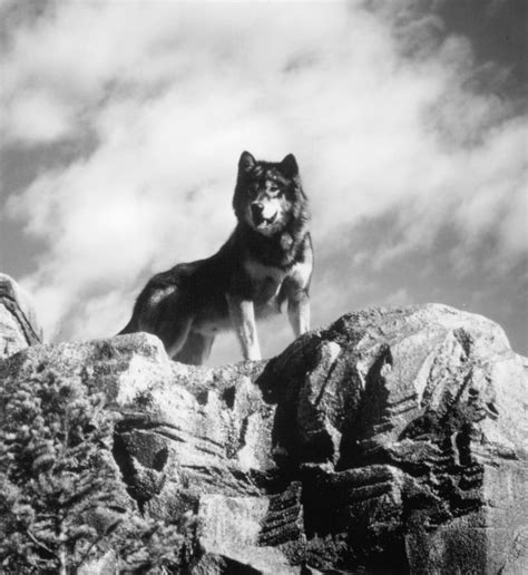 Watch White Fang 2: Myth of the White Wolf on Netflix